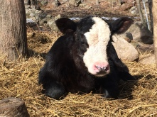 Storm, Hereford/Angus (Style's calf)