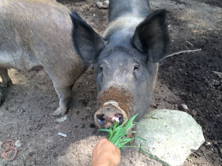 Penny, our Hampshire sow.