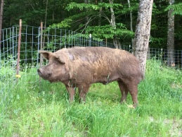 EJ, Tamworth boar. Sadly this guy is no longer in our breeding program. But his genes carry on in some of our hogs.