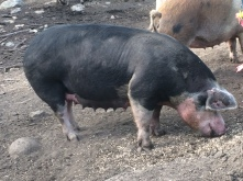 Spoinky, our Berkshire sow